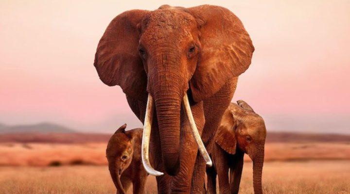 """Apple adquiere los derechos del documental """"The Elephant Queen"""""""